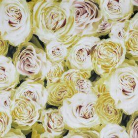 rose01_570x480