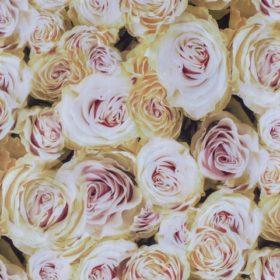 rose02_570x480